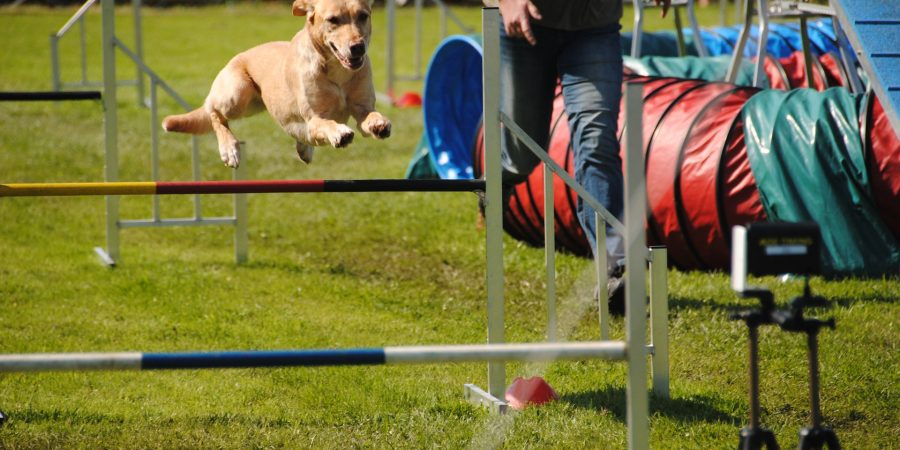 agility-chien