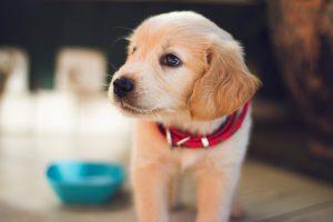 Chiot labrador avec collier rouge et gamelle d'eau en fond