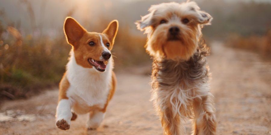 Deux petits chiens qui courent ensemble