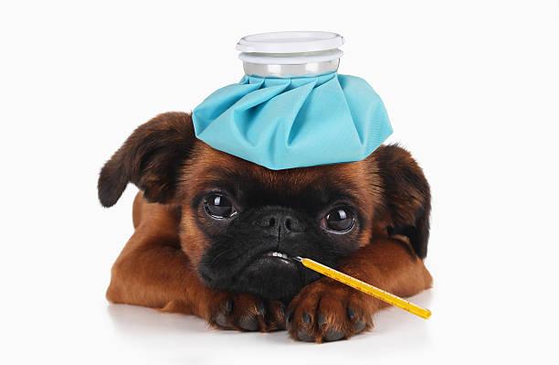Chiot malade avec une bouillotte sur la tête et un thermomètre dans la gueule