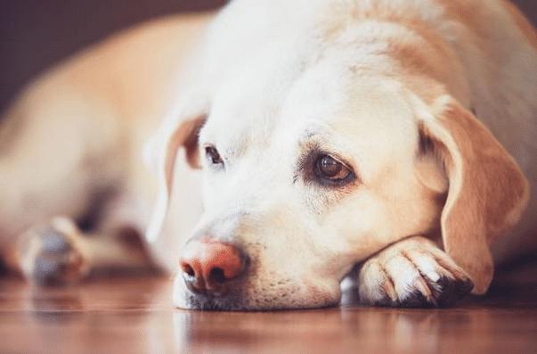 Labrador allongé aux yeux tristes