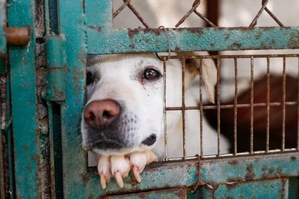 Labrador qui passe son museau à travers la grille d'un chenil