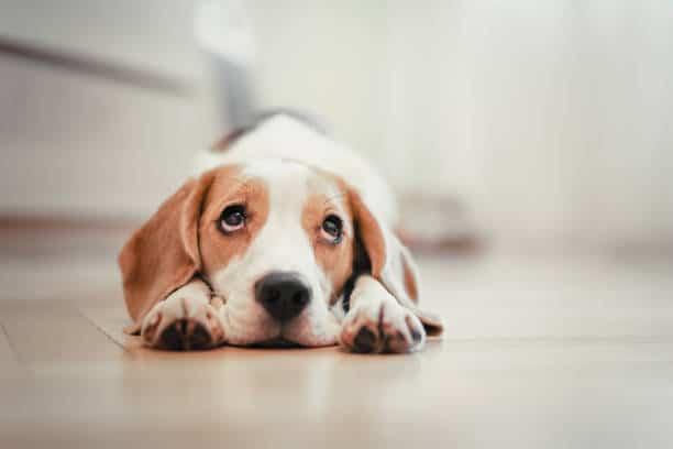 Chien couché sur le sol d'une maison avec un regard triste