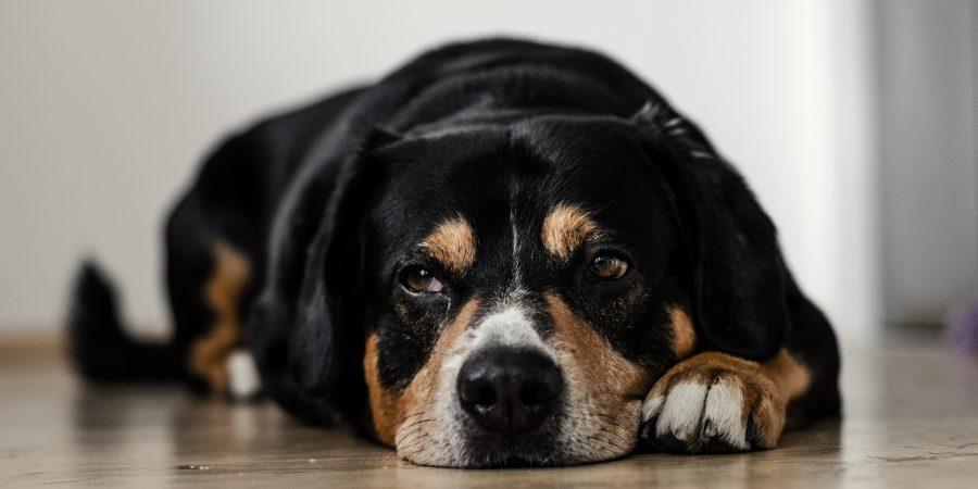 Un chien noir allongé sur le sol