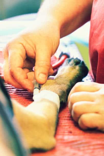 Gros plan sur la main d'une vétérinaire qui insère une seringue dans la patte d'un chien