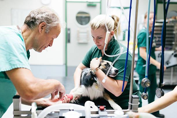Deux médecins vétérinaires qui administrent un agent anesthésique à un chien