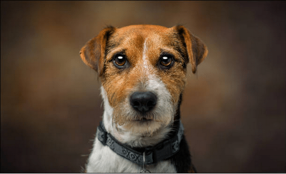 Gros plan sur un chien aux yeux larmoyants