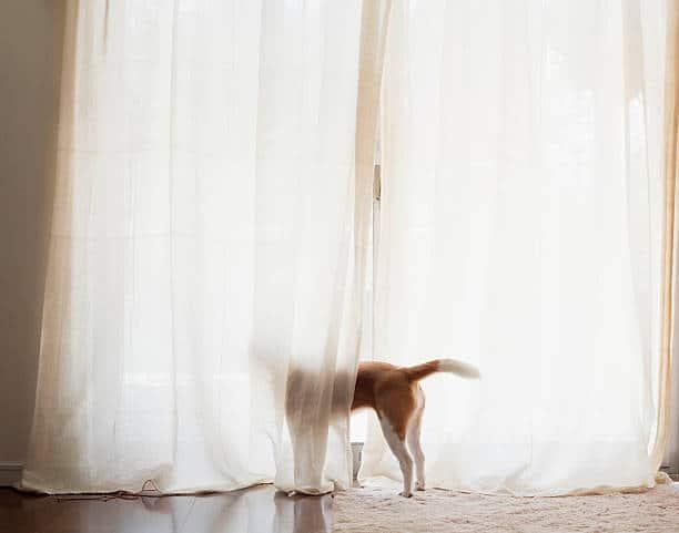 Chien qui regarde par la fenêtre derrière un grand rideau blanc