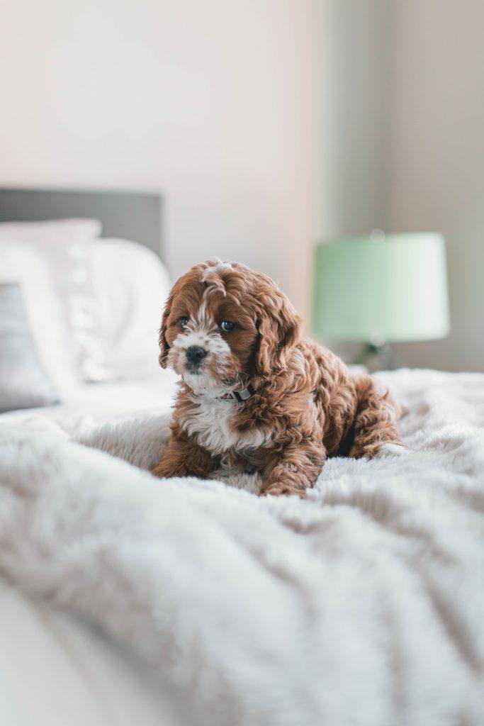 Chiot l'air inquiet sur un lit