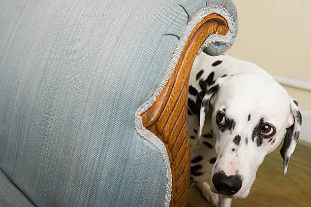 Dalmatien caché derrière un fauteuil et l'air effrayé