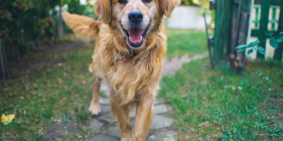 Chien Golden Retriever l'air heureux et en bonne santé dans le jardin