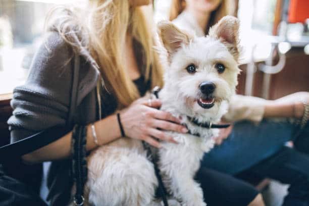 Petit chien blanc posé sur les genoux d'une jeune fille dans un train