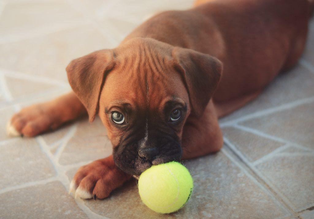 Jeune chien qui joue avec une balle