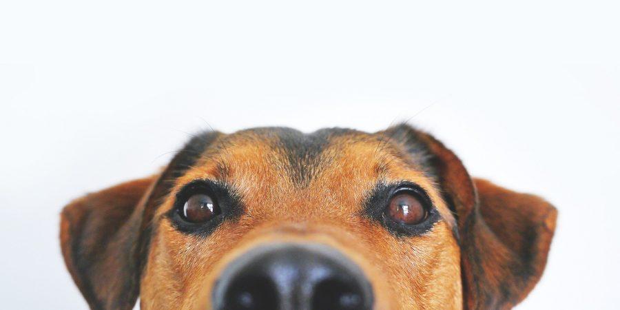 chien qui regarde son maître