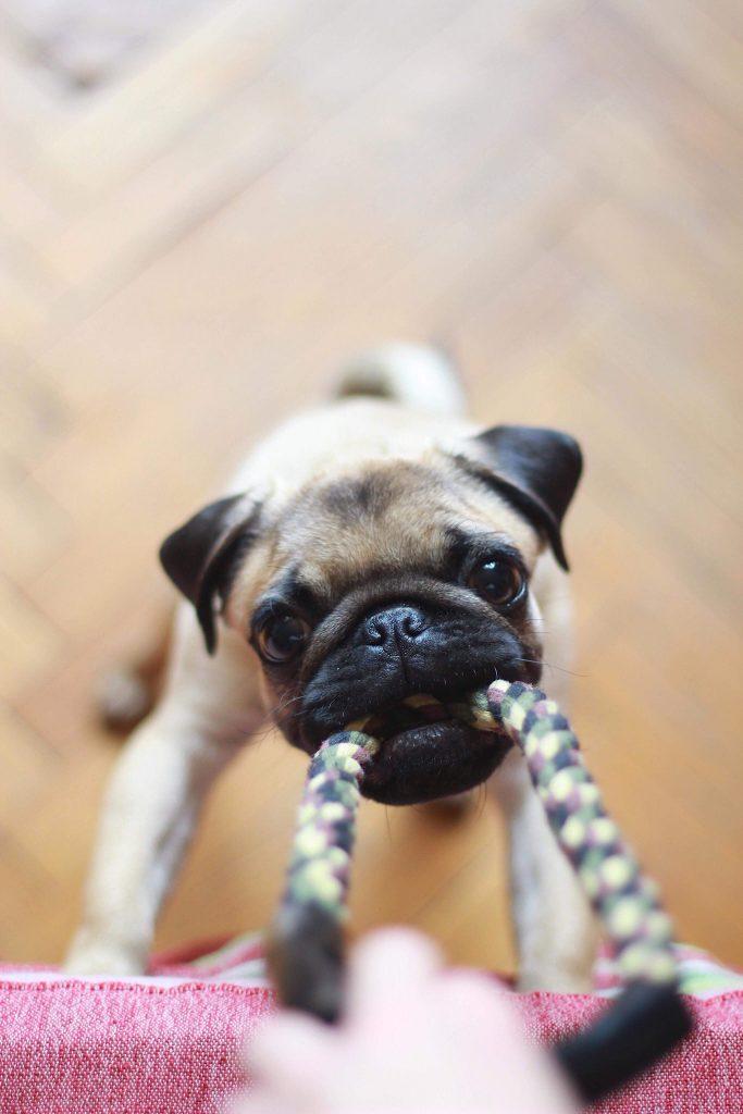 chien qui joue avec une corde