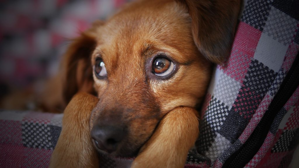 constipation chien
