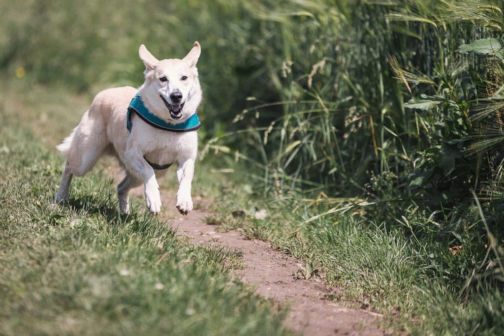 chien qui court sans laisse dans un parc