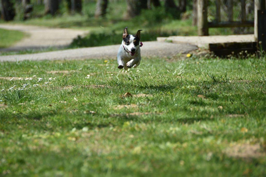Jack Russel qui court dans un parc