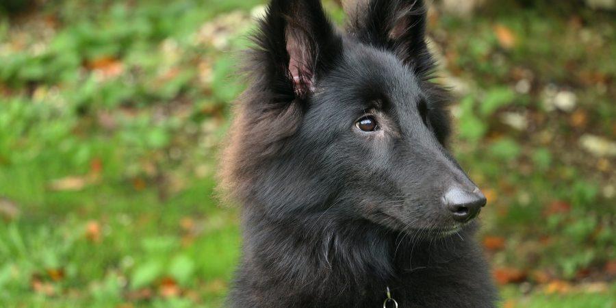 Un berger belge noir à poil long