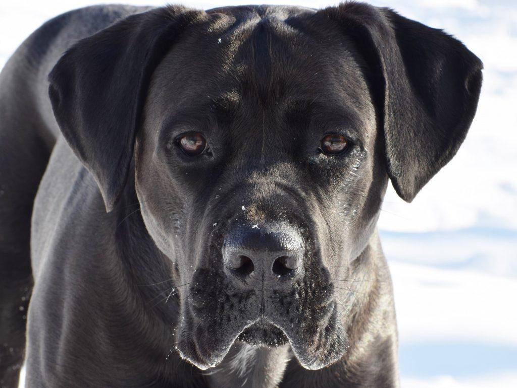 Un cane corso dans la neige