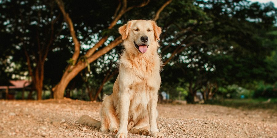 Un golden retriever devant un arbre