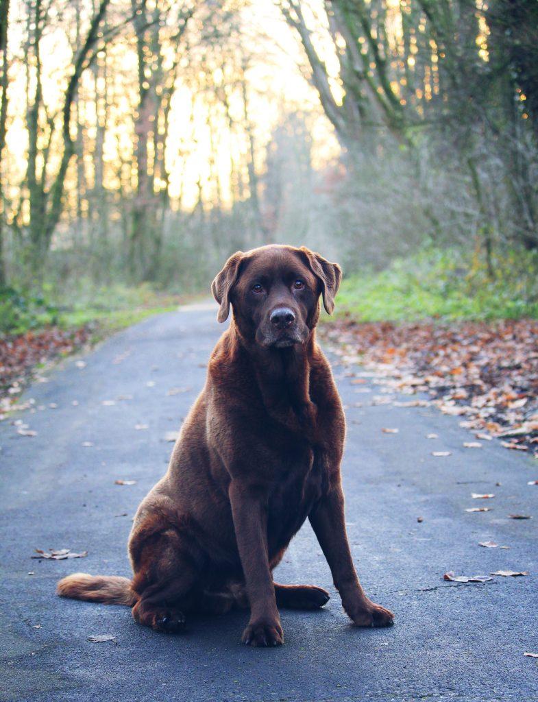 Un labrador marron sur un sentier