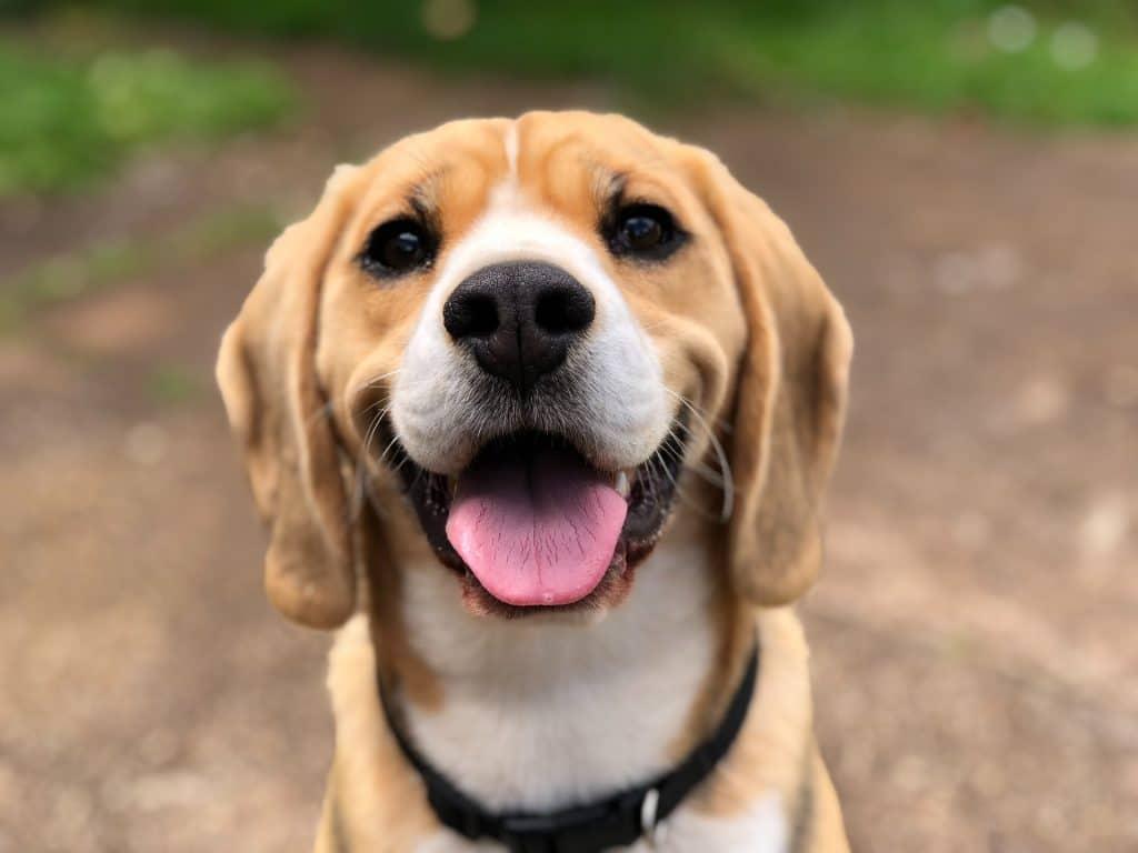 chien qui tire la langue