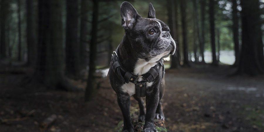 comment mettre un harnais pour chien
